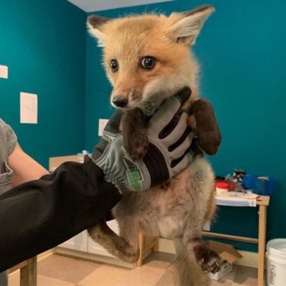 Fox kit about to be weighed