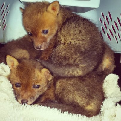 The orphaned foxes arrive at RWS.