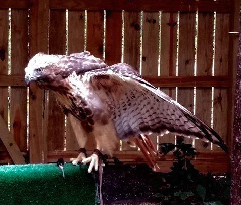 Jack, a one-eyed hawk, is now an education animal.