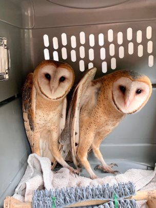 Owls at Release!
