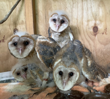 Owlets prior to release.
