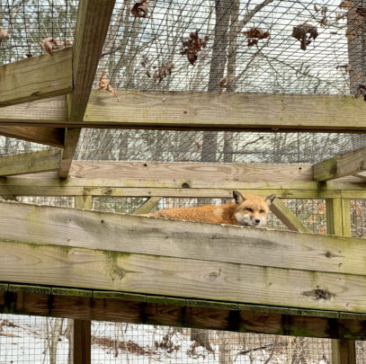 Overwintering/recovering from mange fox