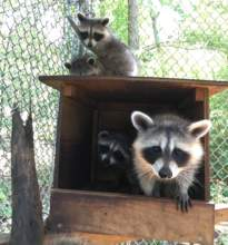 Raccoons in one of their outdoor enclosures at RWS