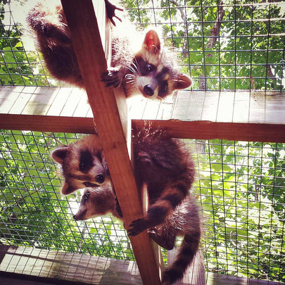 Raccoons enjoying their outdoor enclosure