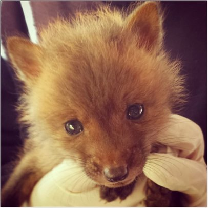 Red Fox Kit - one of six this spring
