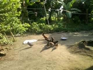 Typical backyard poultry through soft loans