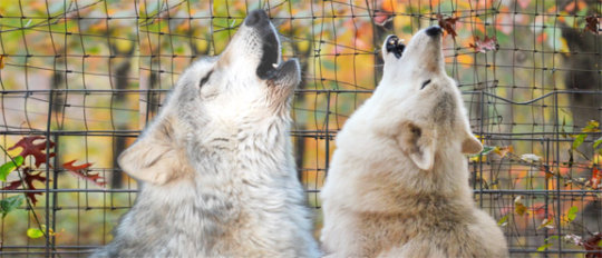Will Howl for Food!