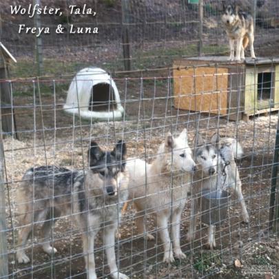 Wolfster, Tala, Luna and Freya