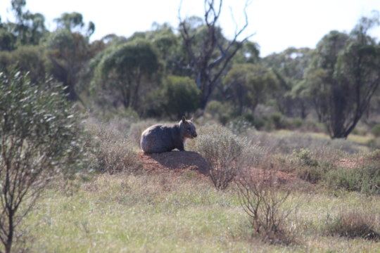 Healthy Wombat at Brookfield Conservation Park