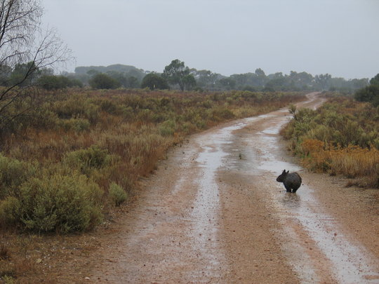 Rain Soaked Wombat at Brookfield