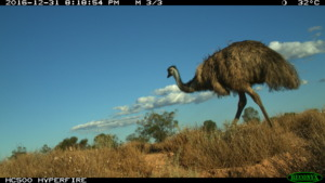 Resident emu captured by remote sensor camera