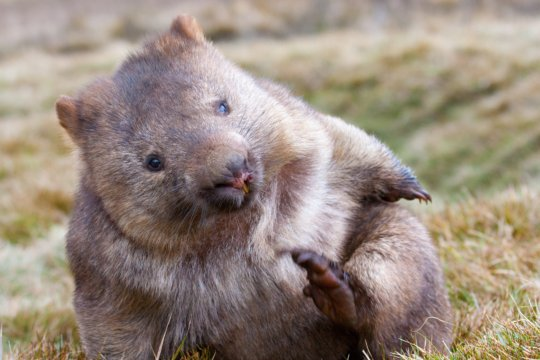 Southern Hairy-Nosed Wombat Appeal