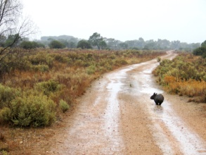 Wandering wet Wombat in search of food