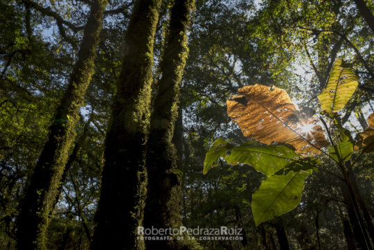 Photo of Magnolia Rzedowskiana by Roberto Pedraza