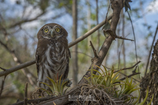 The Ferruginous Pygmy Owl. Can you hold its gaze?