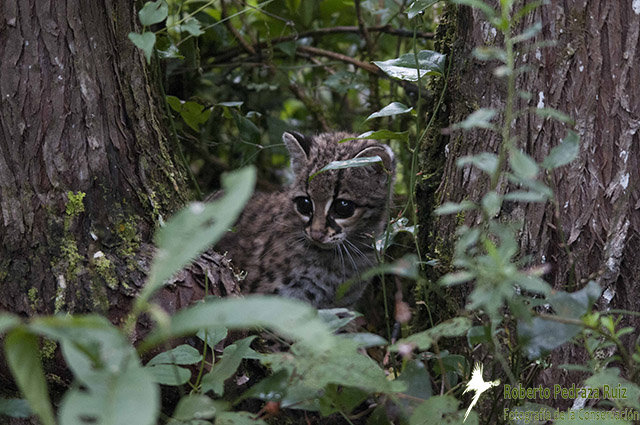 Protecting Wild Cat Habitat