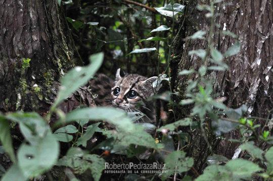 Protecting Wild Cat Habitat