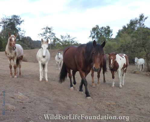 Rescued Navajo Mustangs