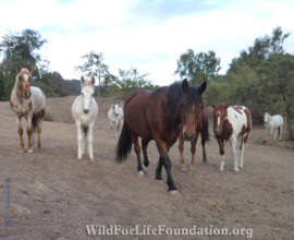 Rescued Navajo Mustangs