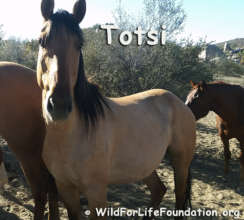 Totsi, a rescued Navajo Mustang mare