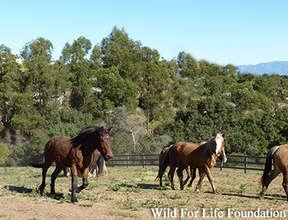 RescuedHerd running free in WFLF sanctuary pasture