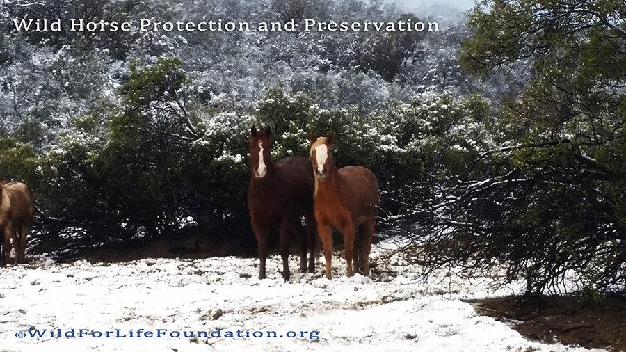 Rescued Navajo horses Dec 2016