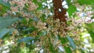 Flowers of Moena Alcanforada