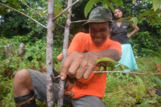 Oscar carefully pruning a rosewood branch