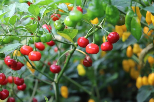 hot peppers as natural Christmas tree ornaments