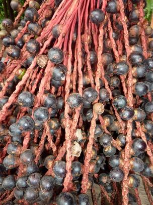 Fruits of sinamillo, Oenocarpus mapora