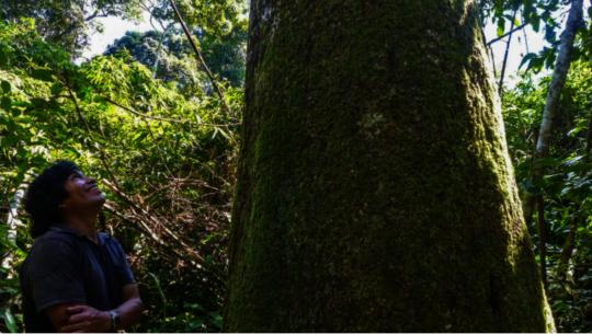 Partner farmer regards a healthy Brazil Nut Tree