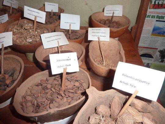 Seeds of native trees of Northern Uganda
