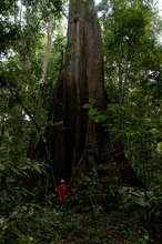 Giant kapok tree in the forests we protect