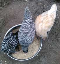Chickens meet our youth interns
