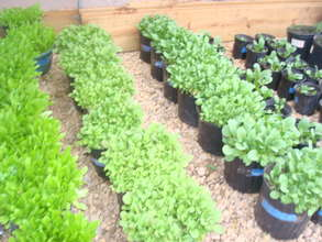 Growing many lettuce varieties for the food pantry