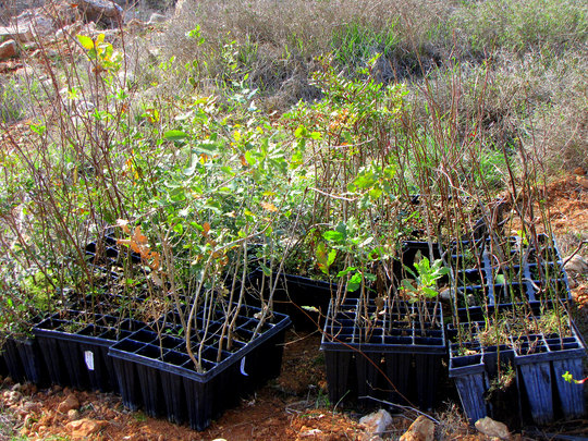 Saplings Ready for Planting