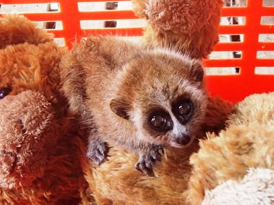 The infant pygmy slow loris rescued in Mondulkiri