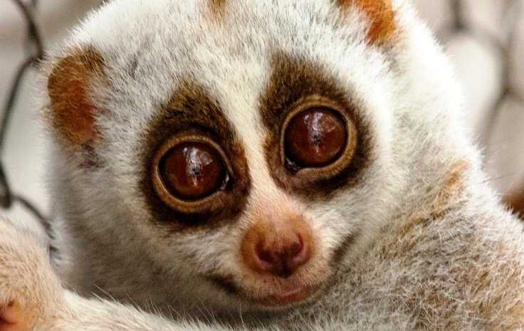 Protect the Rare and Endangered Slow Loris