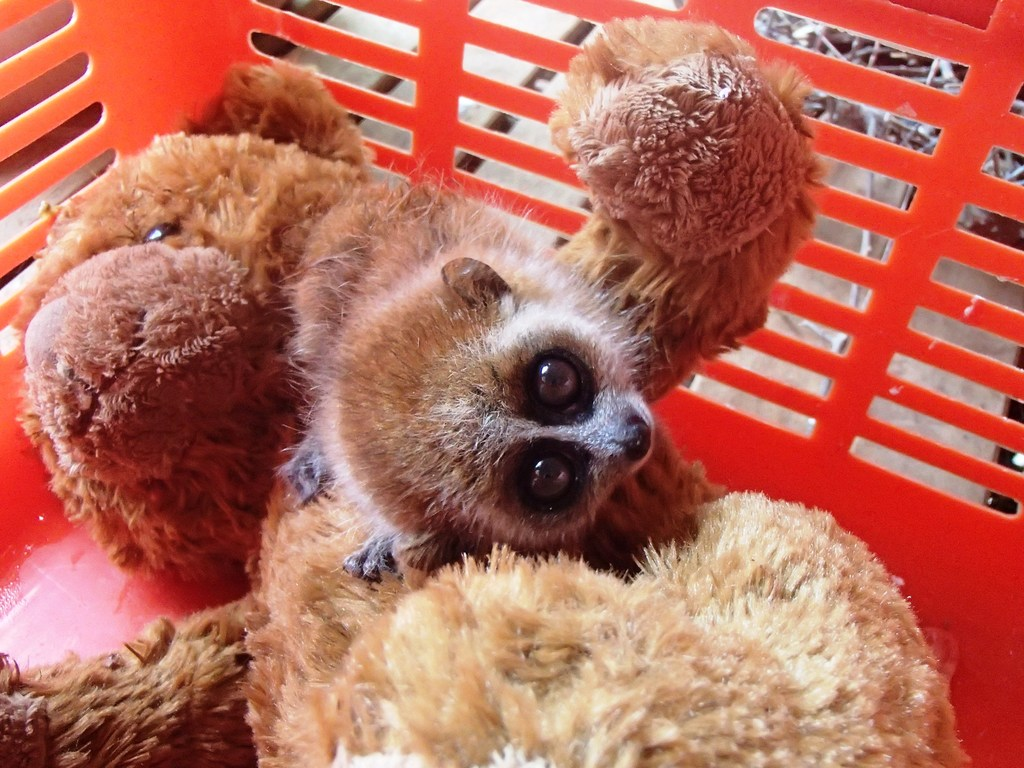 "This pygmy slow loris will only grow to be 7""- 9"""