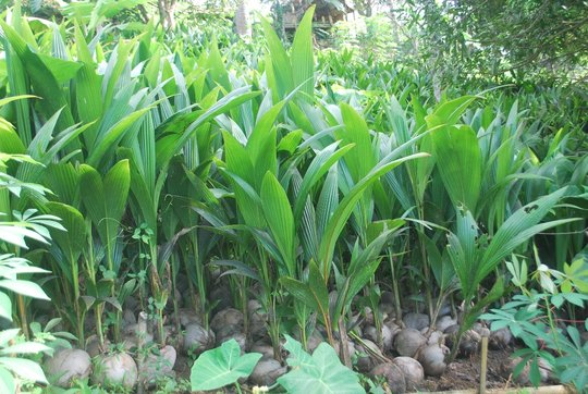 Coconut seedlings from Mindanao