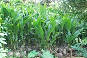 Coconut seedlings from Mindanao
