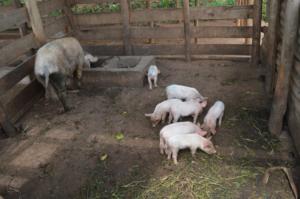 New piglets born in Cyaruzinge!