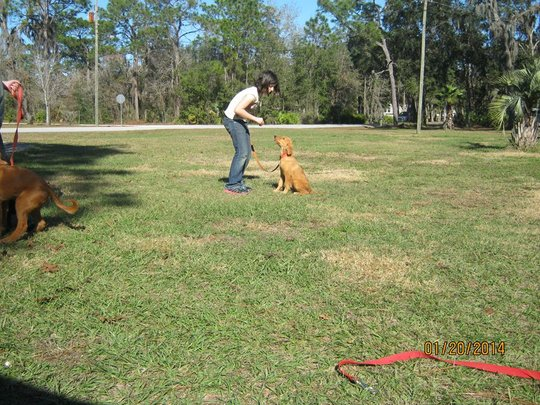 Simba - puppy in training