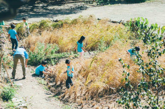 Harvest rice grown with recycled waste water
