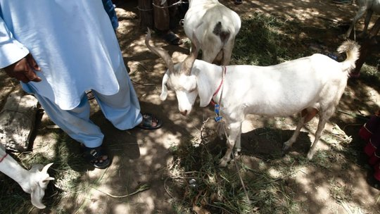 goat rearing is a family affair