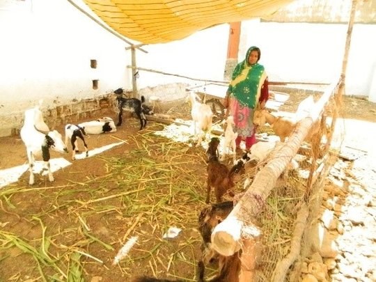 Shahjehan with her goats