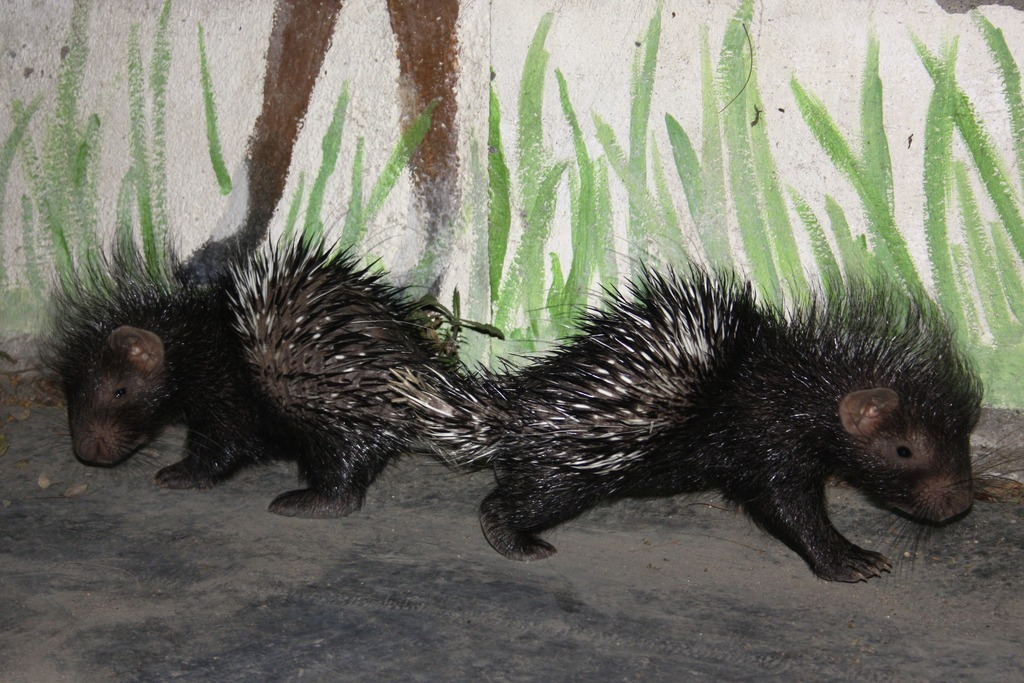 Babies Porcupine