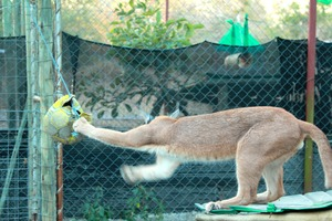 Enrichment for the Caracal