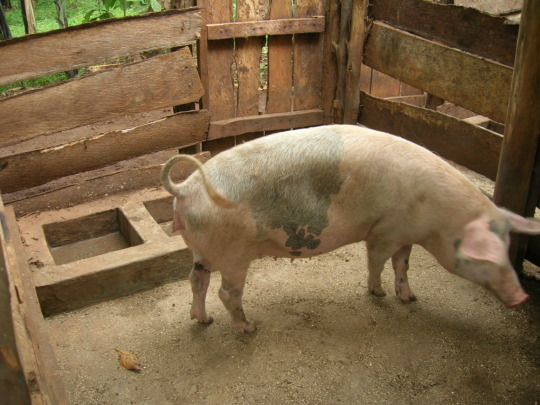 Set Up a Hybrid Piggery Project for Kids in Uganda