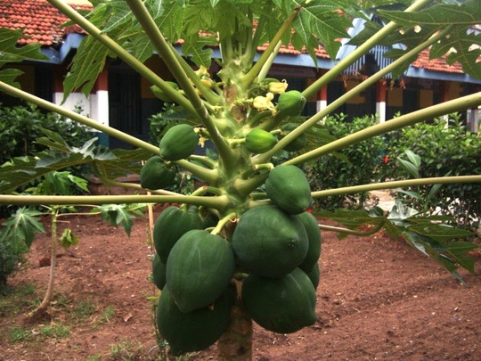 Fruits grown in the school